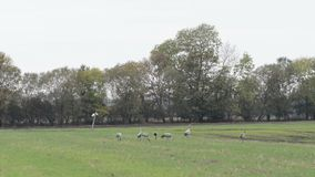 Flock of crane birds graze on a field at Rhinluch region at Brandenburg Germany. Flock of crane birds graze and flying on a field at Rhinluch region at stock footage