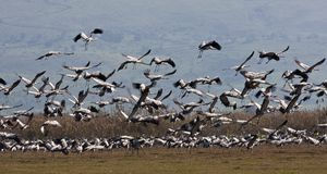 Flock of cranes. Taking off in the field - Israel Royalty Free Stock Photos