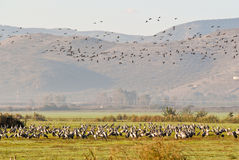 A flock of cranes. Near the galillee mointains Royalty Free Stock Images