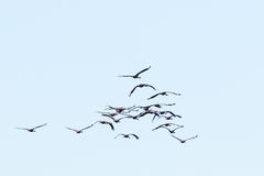 Flock of cranes Stock Images