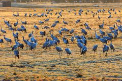Flock of cranes on a field Stock Photography
