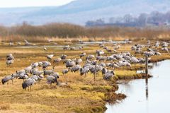 Flock of Cranes on a field Royalty Free Stock Images