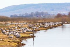 Flock of Cranes on a field Royalty Free Stock Photo