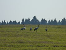 A flock of cranes in the field. September, Russia, Tverskaya oblast stock photo