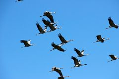A flock of cranes flew through the sky. A flock of cranes flew together royalty free stock photos