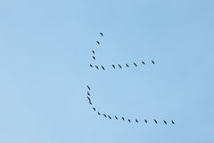 A flock of cranes in flight, low angle view Stock Image