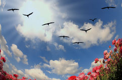 Flock of cranes flying over flowering field Royalty Free Stock Photos