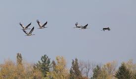Flock of cranes Stock Photography