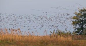 Flock of cranes Royalty Free Stock Photo