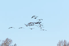 Flock of cranes in the sky Stock Image