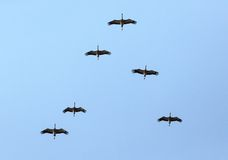 Flock of cranes in the sky Stock Photo