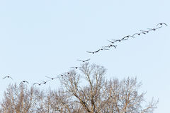 Flock of cranes in the sky Royalty Free Stock Photos
