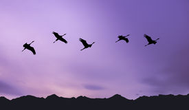 Flock of cranes spring migration Royalty Free Stock Image