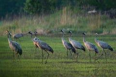Flock of cranes Stock Photos