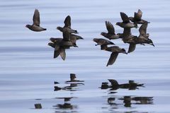 A flock of Crested auklet flying over the waters of the Pacific stock photography
