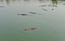 Flock of crocodile in river Stock Photo