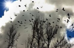 Flock of crows Royalty Free Stock Images