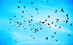 Flock of crows Royalty Free Stock Photo