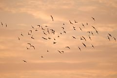 Flock of crows with the backdrop of the sunset sky Stock Photo