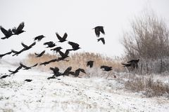 A flock of crows flying above the frozen fields Royalty Free Stock Image