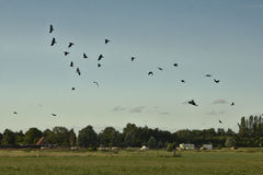Flock of crows flying over farmland (corvus) Royalty Free Stock Photos