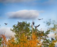 Flock of crows resting in crown of pine Stock Photo