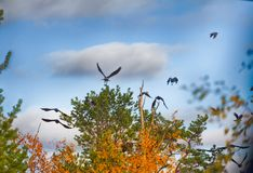 Flock of crows resting in crown of pine Stock Image