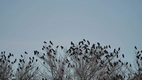 Flock of crows sit on the tops of the autumn bird trees. flock of birds migration of birds flying crow. Flock of crows sit on tops of the autumn bird trees stock footage