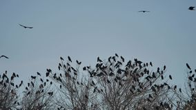 Flock of crows sit on the tops of the bird autumn trees. flock of birds migration of birds flying crow. Flock of crows sit on the tops of bird autumn trees stock video footage