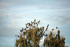 Flock of crows in a tree Royalty Free Stock Image