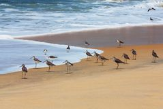 Flock of Curlew sandpiper Royalty Free Stock Image