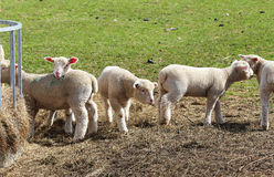 A flock of cute Spring Lambs Stock Photo