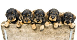 Flock of dachshund puppies. Flock of dachshund puppies in a wood box Royalty Free Stock Photography