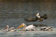 Flock of Dalmatian pelican Stock Photo