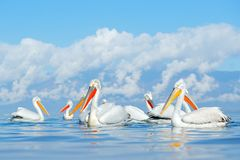Flock Dalmatian Pelican, Pelecanus Crispus, In Lake Kerkini, Greece. Palican With Open Wing, Hunting Animal. Wildlife Scene From E Royalty Free Stock Photography