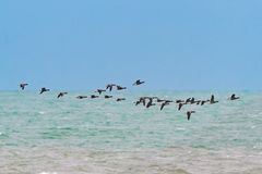 A flock of Dark-bellied Brent Geese migrating. A flock of Dark-bellied Brent Geese or Dark-bellied Brant, Branta bernicula bernicla, in flight over the sea Royalty Free Stock Photos