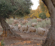 Flock at dawn. A flock of milk sheep make their way through the olive groves, down to the milking area, at dawn. The pink dawn light adds atmosphere to the shot royalty free stock photography