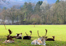 Deer outdoors in early spring Stock Photo