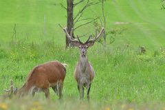 Flock of Deer stag  with growing antler grazing the grass stock photo