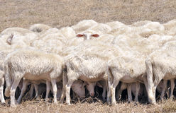 Flock of defensive sheep Stock Image