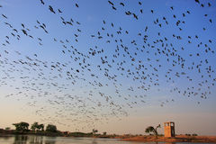 Flock of demoiselle crains flying in blue sky, Khichan village, Stock Photo