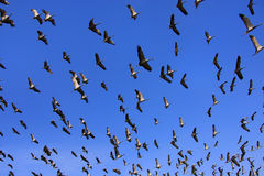 Flock of demoiselle crains flying in blue sky, Khichan village, Stock Photography