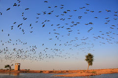 Flock of demoiselle crains flying in blue sky, Khichan village, Stock Photos