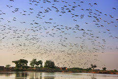 Flock of demoiselle crains flying in blue sky, Khichan village, Royalty Free Stock Photos