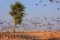 Flock of demoiselle crains near Khichan village, India Stock Photography