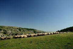 Flock in Dobrogea. One of the old tradition of the South-East Romania Stock Image