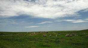 Flock in Dobrogea Royalty Free Stock Photography