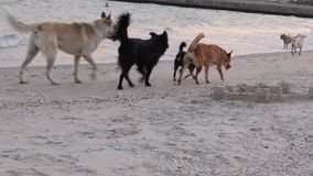 A flock of dogs walking along the beach among the people. stock video