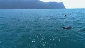 A flock of dolphins jumps out of the water. Dolphins chasing the fish. Summer vacation by the sea