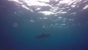 Dolphins swimming in the Red Sea, Eilat Israel m.m. A flock of dolphins stock footage